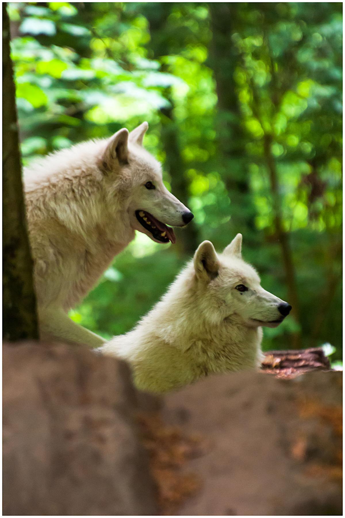 Polarwolf_11.JPG