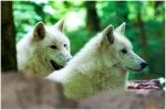 Polarwolf_31.JPG