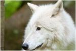 Polarwolf_41.JPG